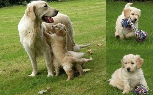 goldendoodle pups bestedooodle goldendoodles